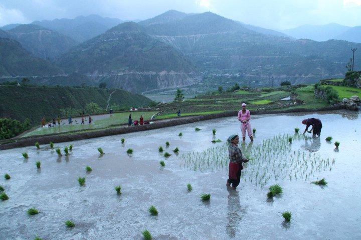 Rijst-boerinnen.Himalaya, India.
