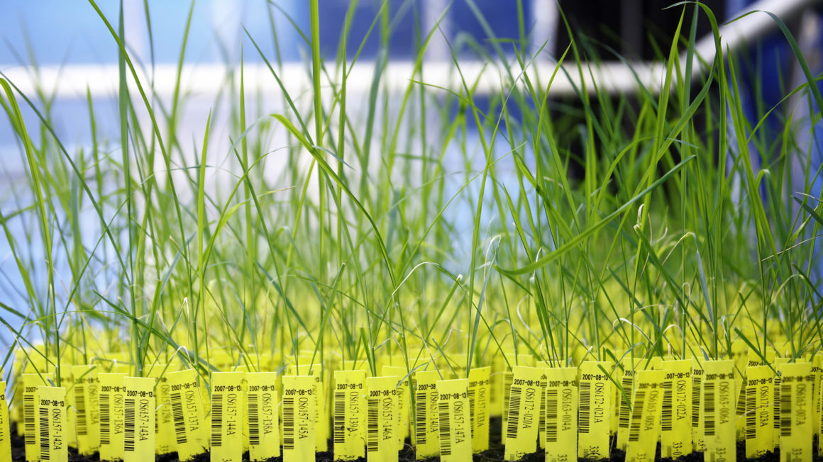CropDesign – Auf der Suche nach neuen Genen / Crop Design – The fine art of gene discovery