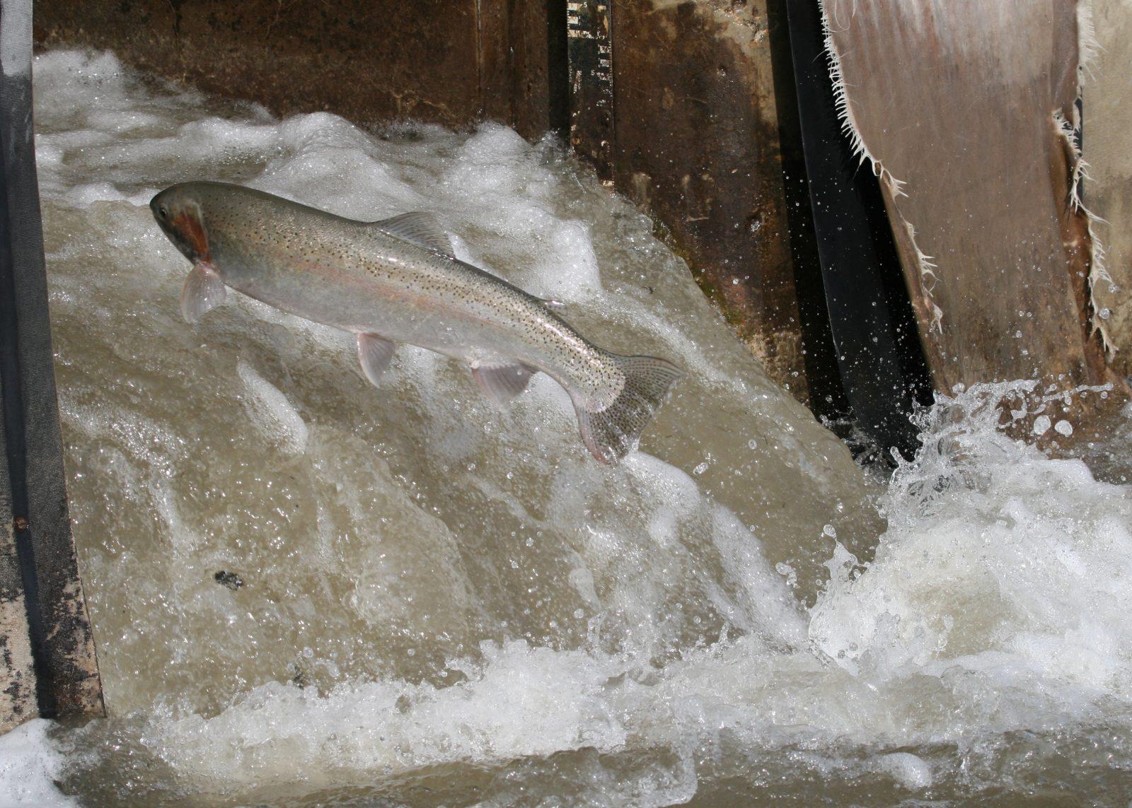 Flickr_Matt-MacGillivray_forel-in-een-visladder-in-de-Canadese-Corbetts-Dam