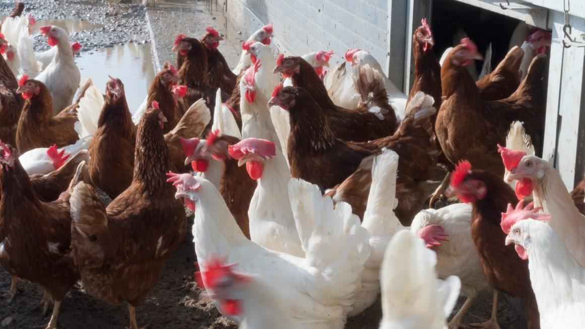 chicken-1230973_1920