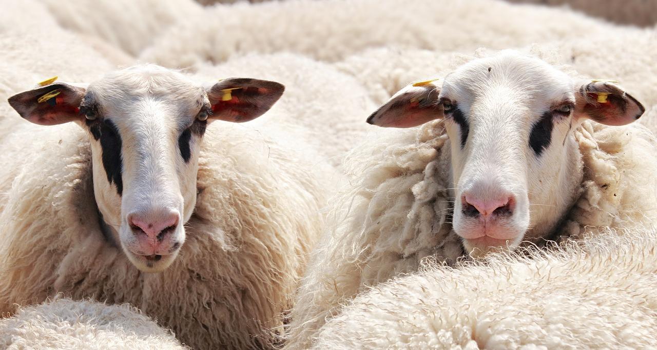 sheep-2292802_1280