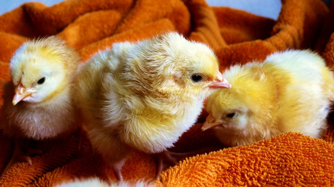 cute-animals-easter-chicken