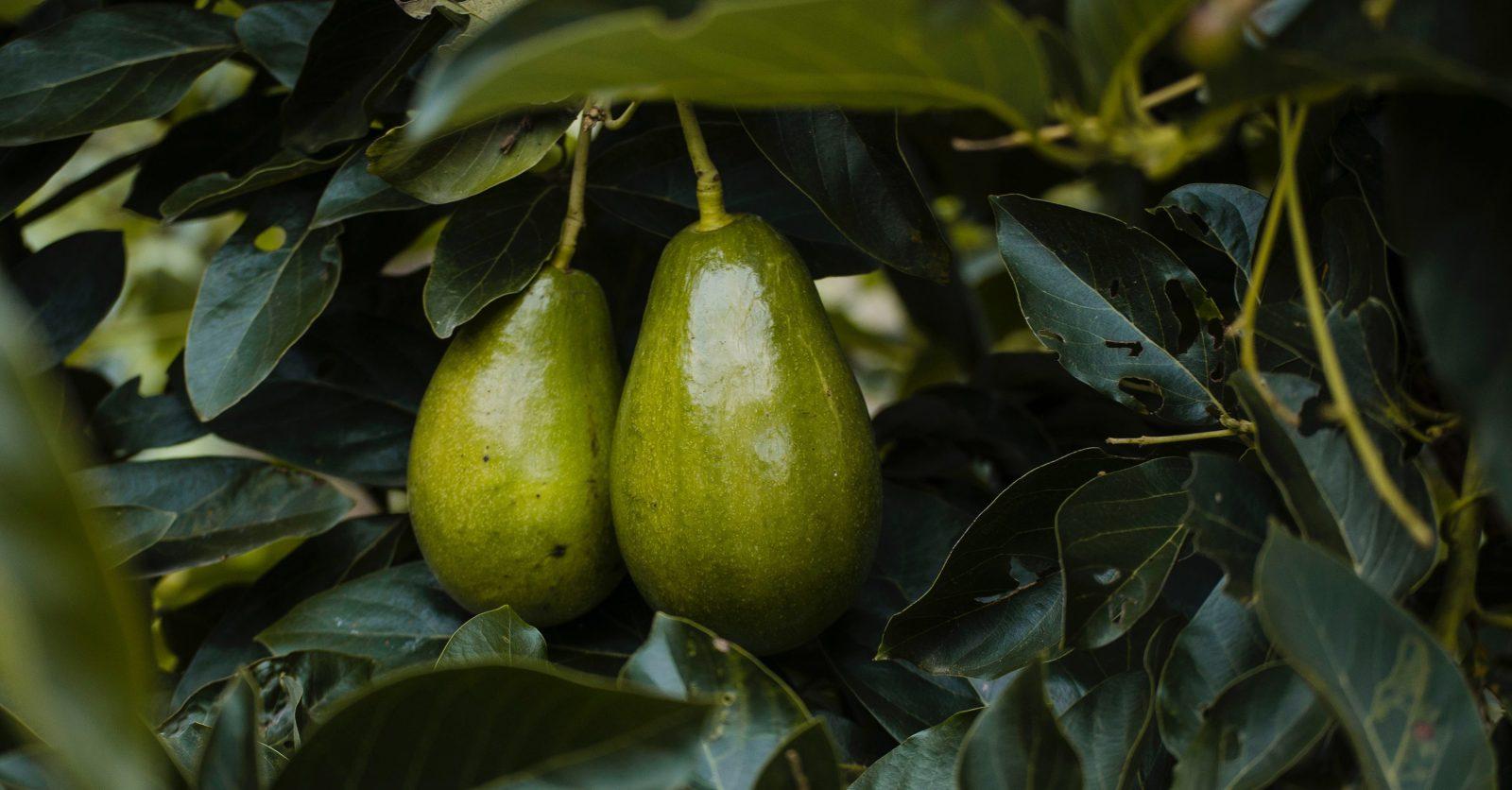 aguacates-avocado-avocados-1261994