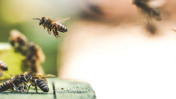 biodiversiteit-insecten-bijen-unsplash