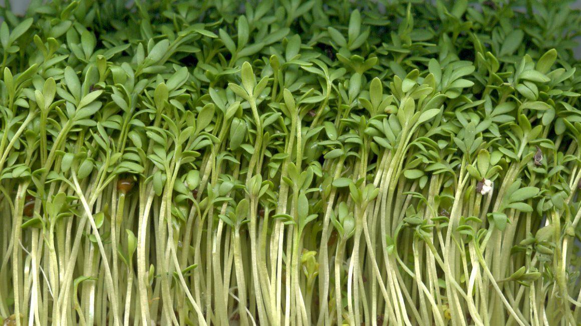 Gartenkresse