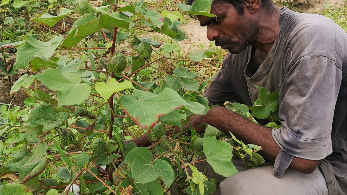 Cottonfarmer_plantinspection-2.jpg