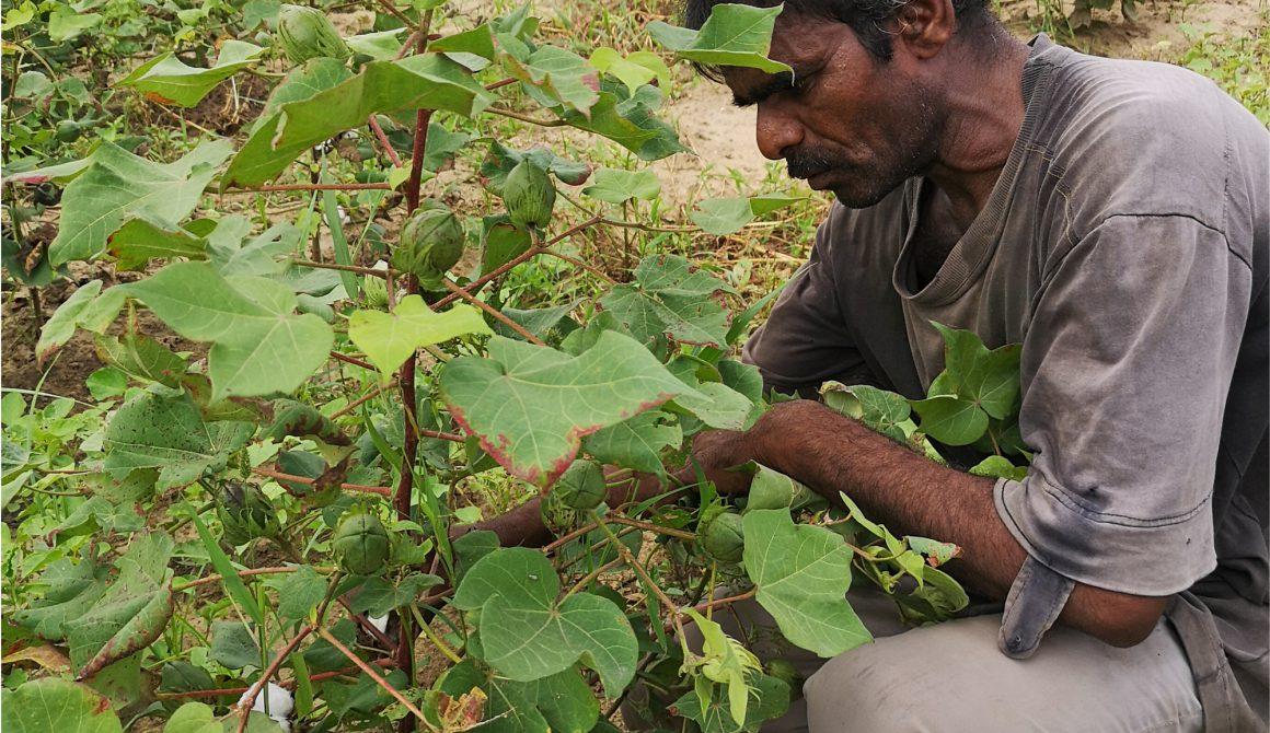 Cottonfarmer_plantinspection-2.jpg