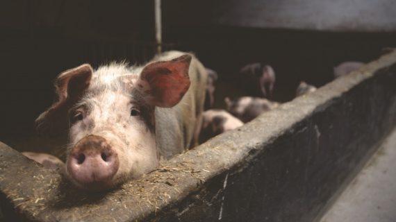 animal_farming_animals_farm_farmer_farming_nice_pig_pigs-997582.jpg!d