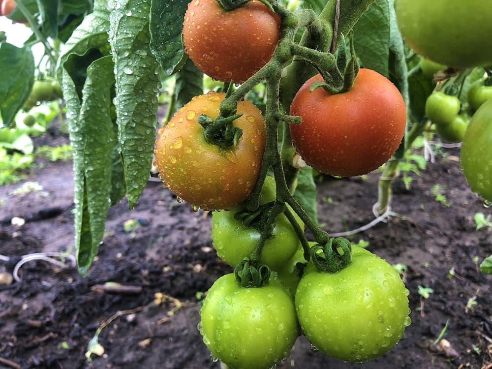Gelukkige-Groentes-S4C-tomaten-2.jpg