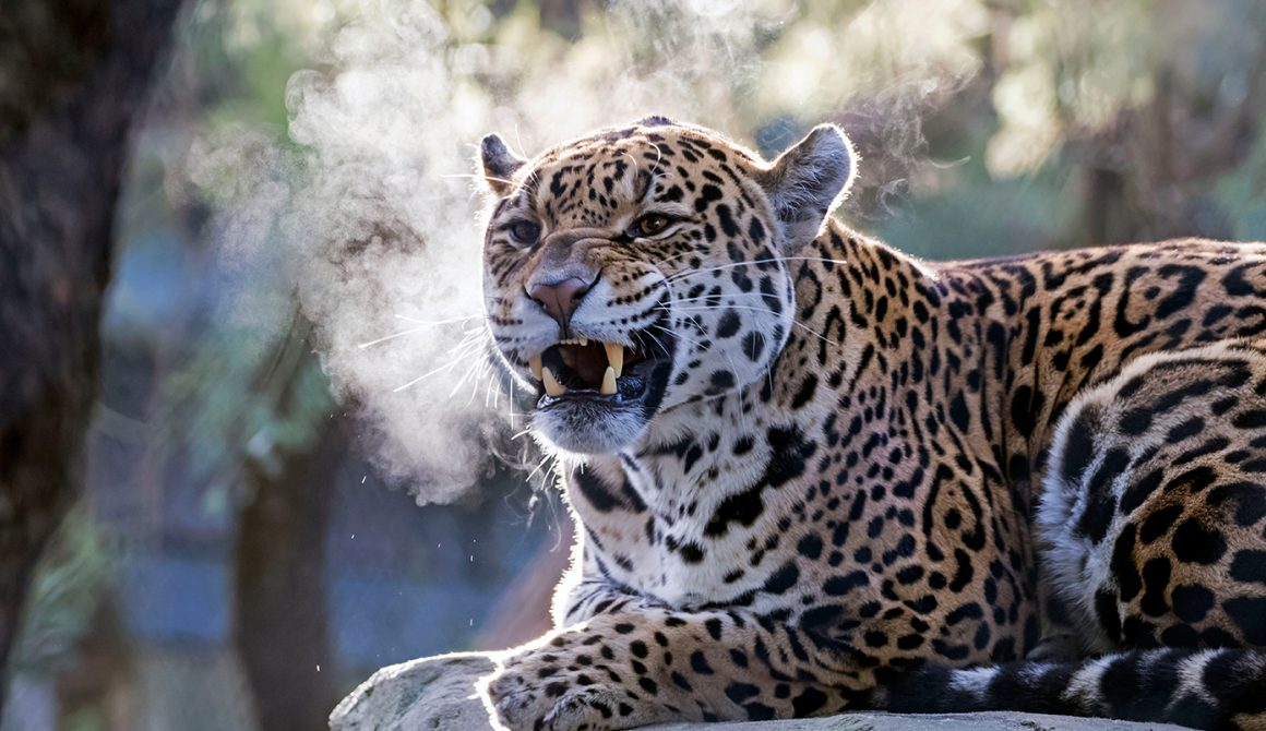 Jaguar in ARTIS. Foto ARTIS, Edwin Butter