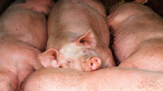 Lazy pigs