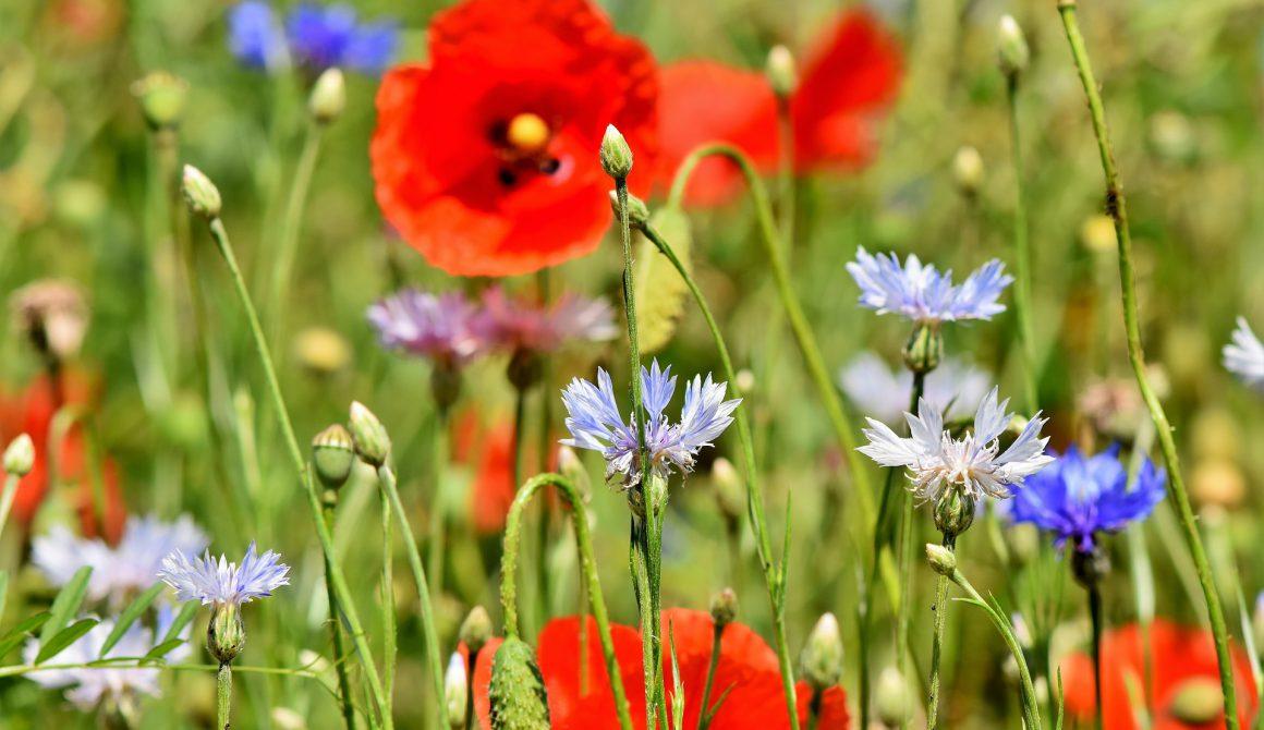 alpine-cornflower-3431590_1920 (1)