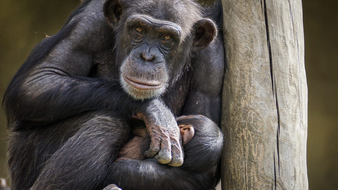 chimpanzee-3707270_1920
